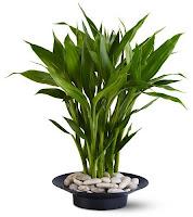Bamboo Plant3