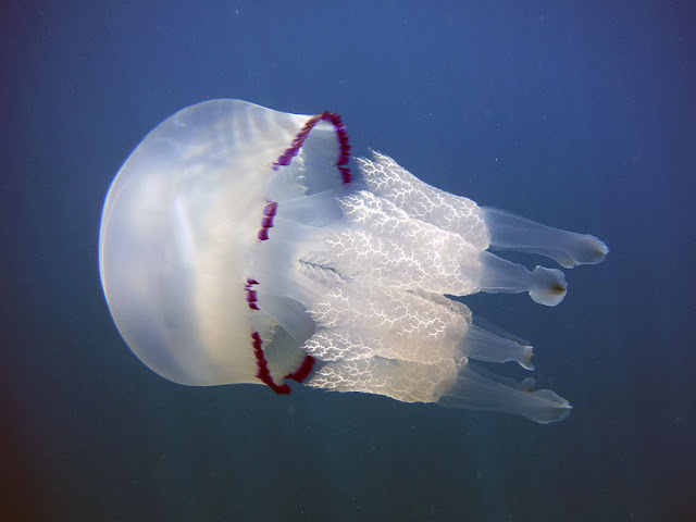 Barrel jellyfish, Livorno