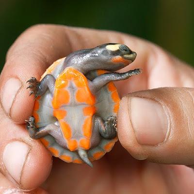 Turtle Red Billied