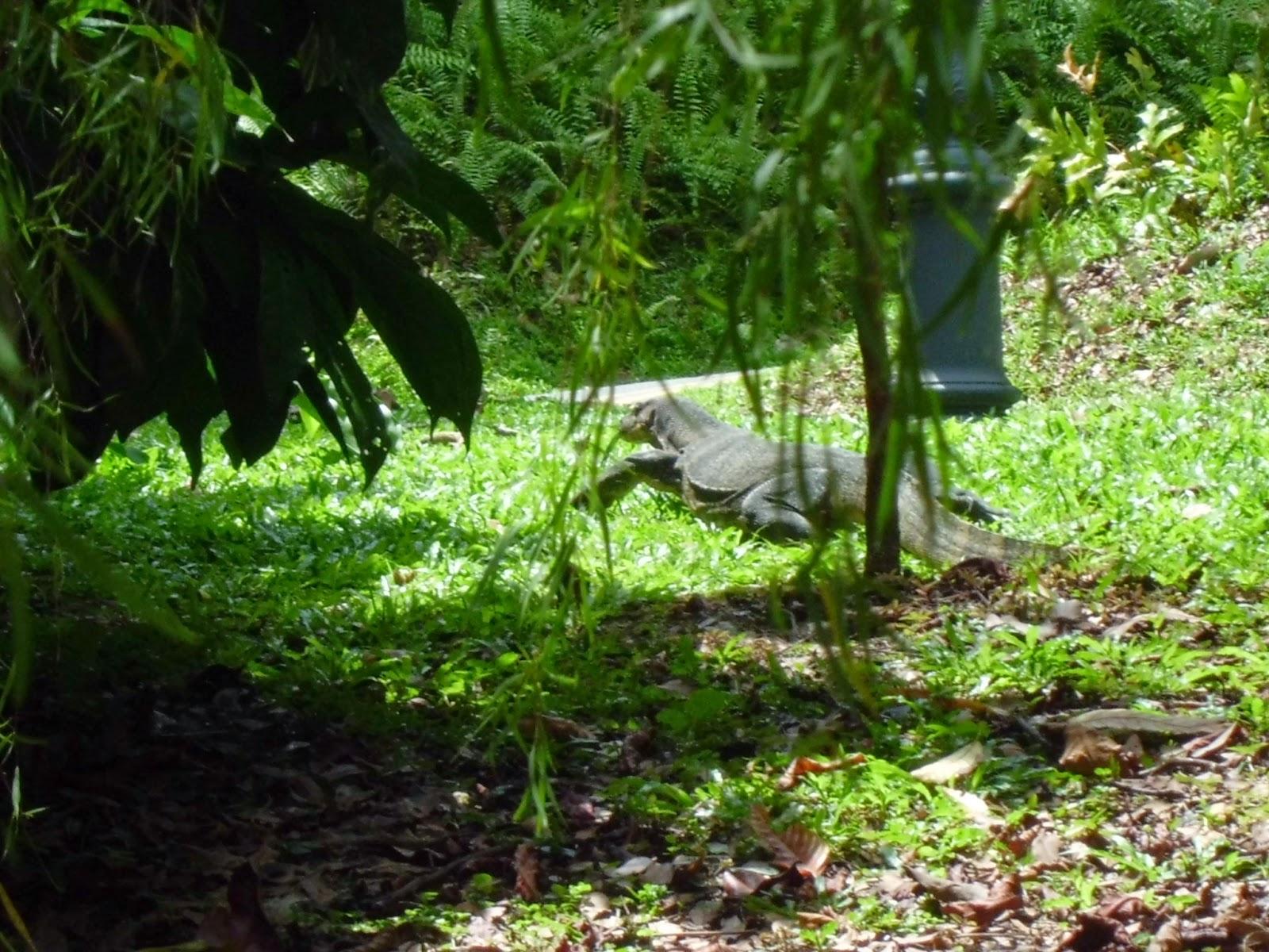 Singapore Botanic Gardens - monitor lizard