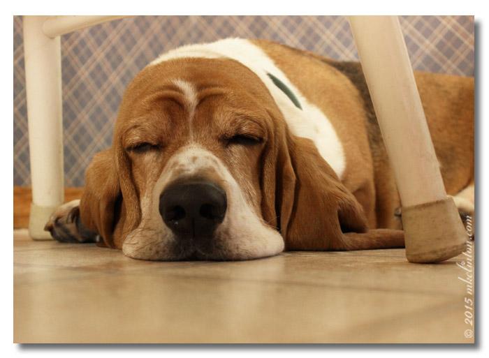 Basset sleeping under kitchen chair