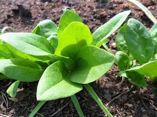 листики шпината