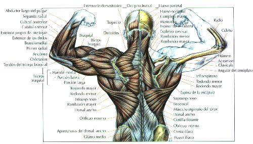 FISICOCULTURISMOO: Ejercicios para ampliar la espalda