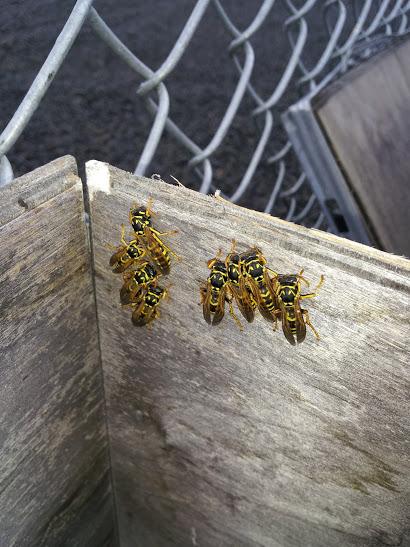 paper wasps, bees, hornets, yellowjackets, wasps, walla walla, dayton, milton freewater