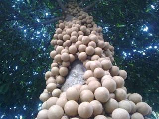 Buah Kepel Berbuah di batang