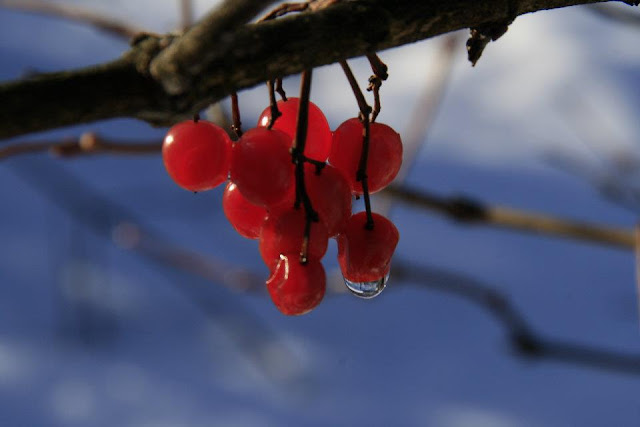 Hohenfels Volks: berries with water drop