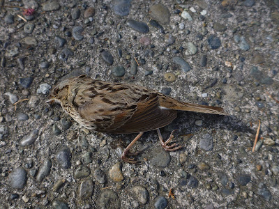 Dead Female Sparrow