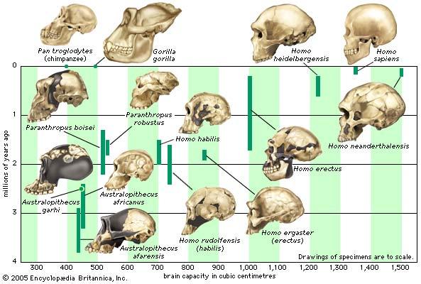 Brain Evolution5
