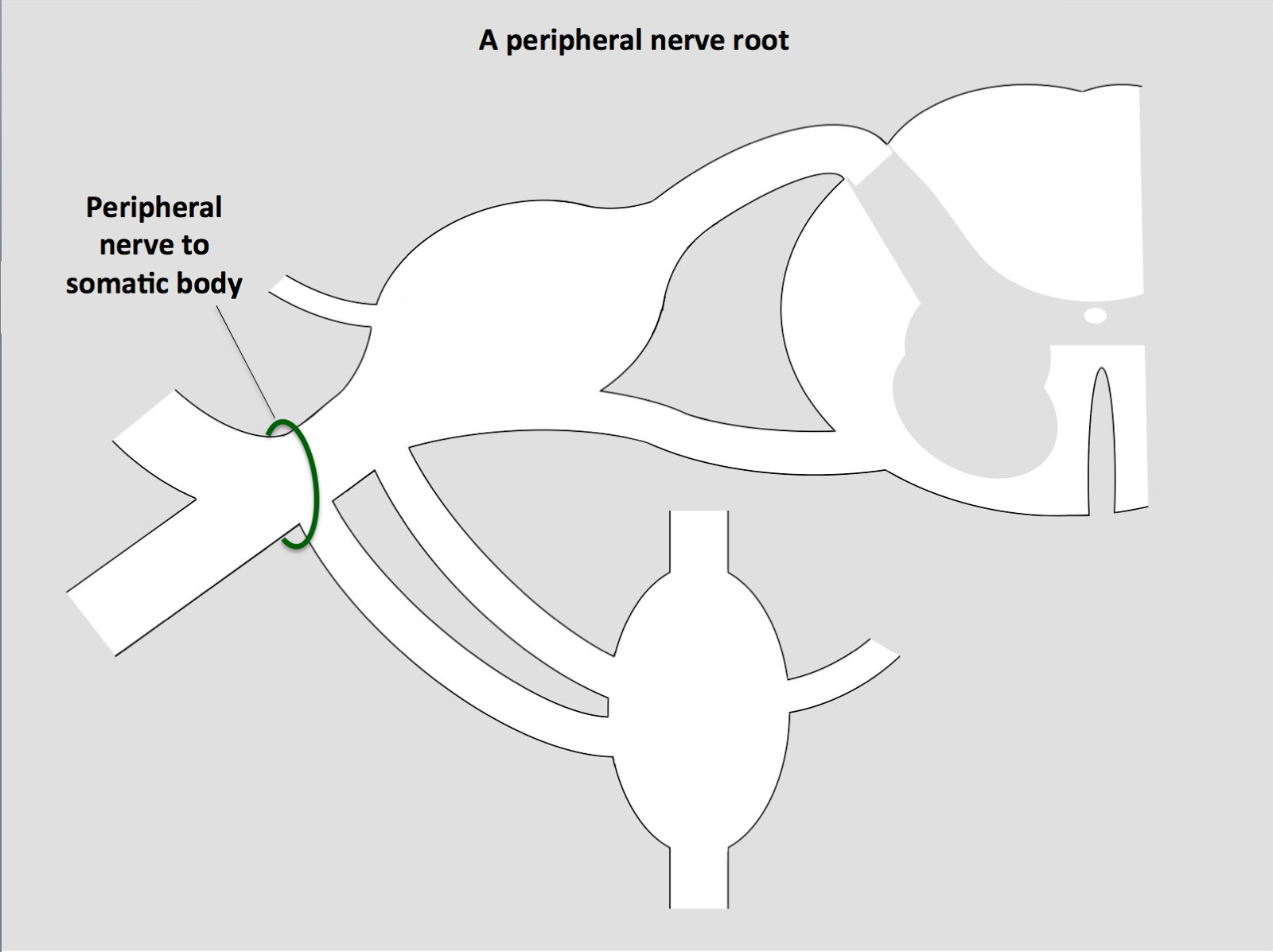 HumanAntiGravitySuit: Anatomy of a peripheral nerve root