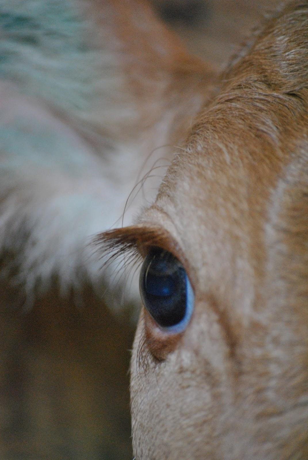 Cow Appreciation Day Guernsey Dairy Mama