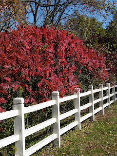 Shrubby sumacs blaze with red in autumn