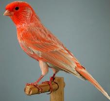 Agata opal Rojo Nevado