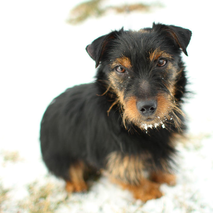 Yorkie terrier mixes