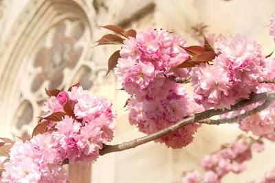 sakura cherry blossom notre dame paris
