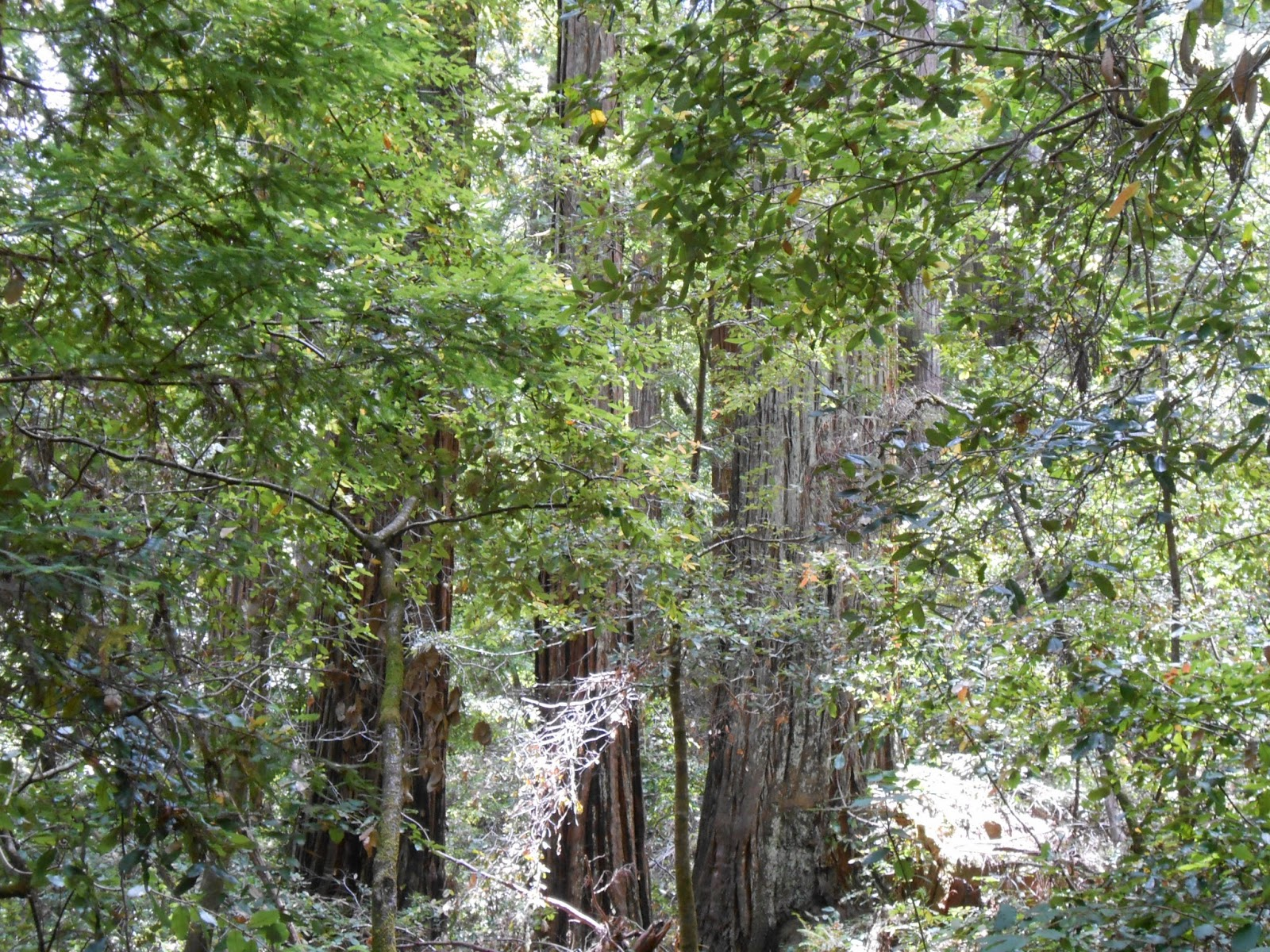 nonduality, nature, spiritual photography, spirituality, redwoods