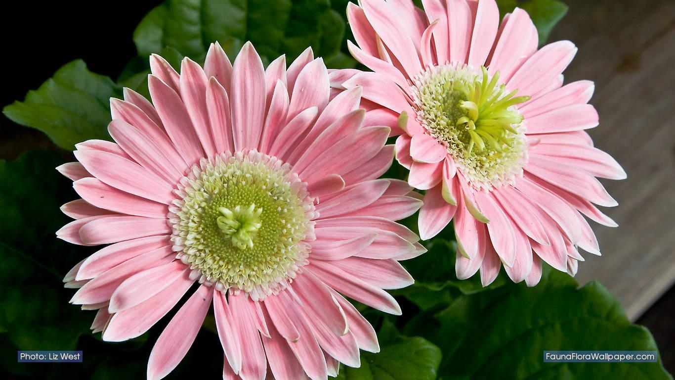 http://3.bp.blogspot.com/-LzdZ1WP-bjU/TcLGZgn0FxI/AAAAAAAAJUs/aClpDENFr7U/s1600/pinkgerbera-ccby-LizWest.jpg