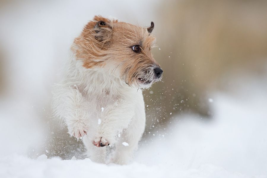 13. jack russell in the snow by Thomas Jensen