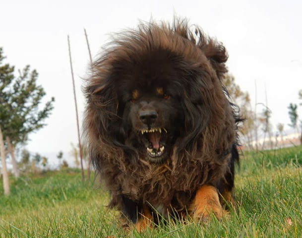 Tibetan Mastiff Facts, Dogs Facts, 16 Interesting Facts About Tibetan Mastiffs, Facts about Tibetan Mastiff,