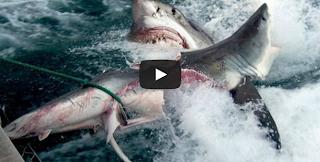SHARK atack SHARK
