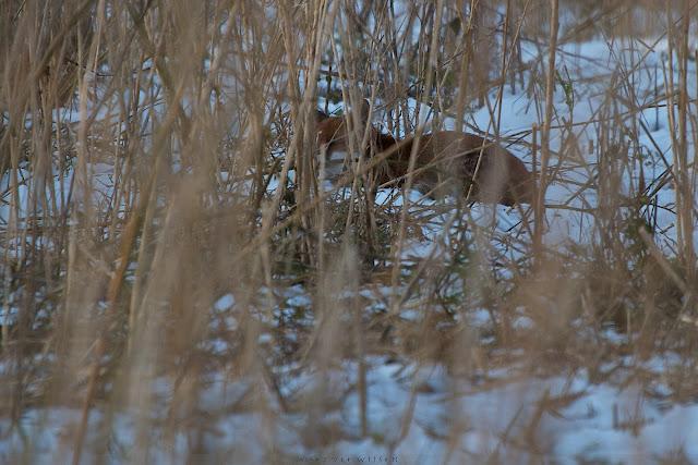 Vos houdt zich schuil in het riet - Red fox hiding - Vulpes vulpes
