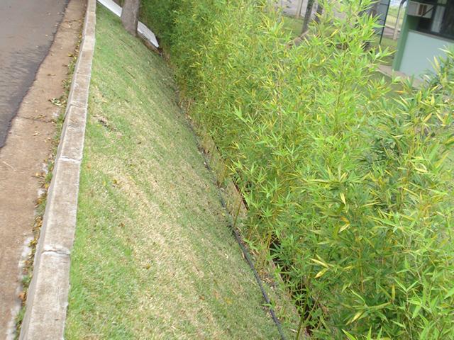 Do Bambu No Seu Estado Natural Como Planta. Usado Como Cerca Viva~ Plantas Jardim Cerca Viva