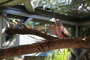 Bourke Parrot