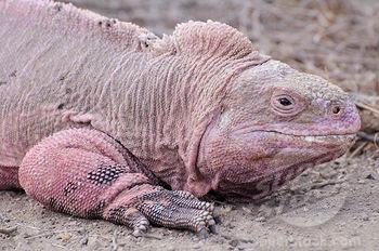 iguana-roz