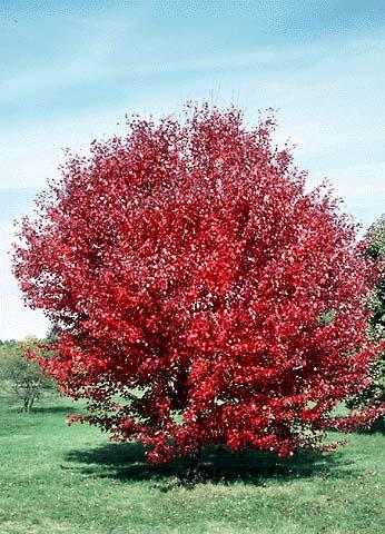 Autumn Blaze Red Maple6