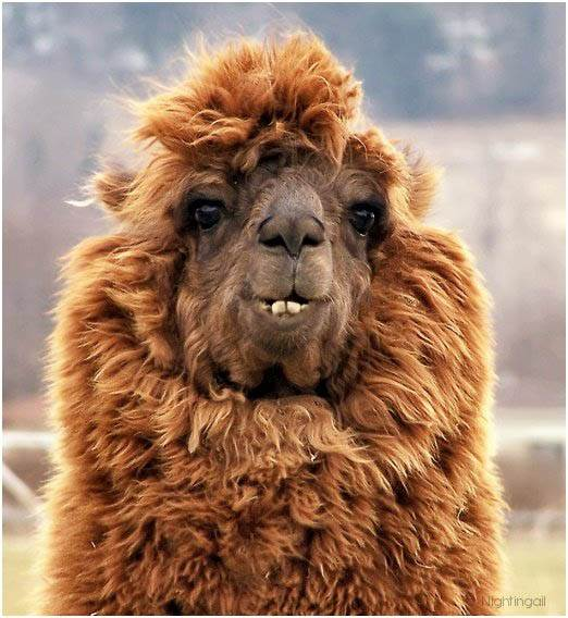 bulu haiwan alpaca