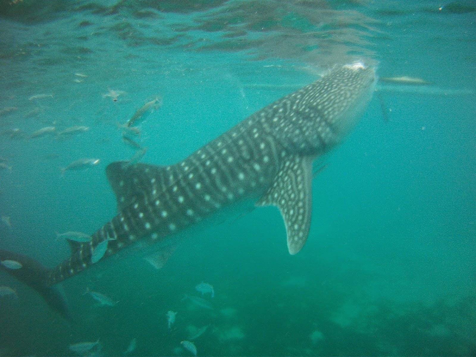 oslob whaleshark DIY itinerary