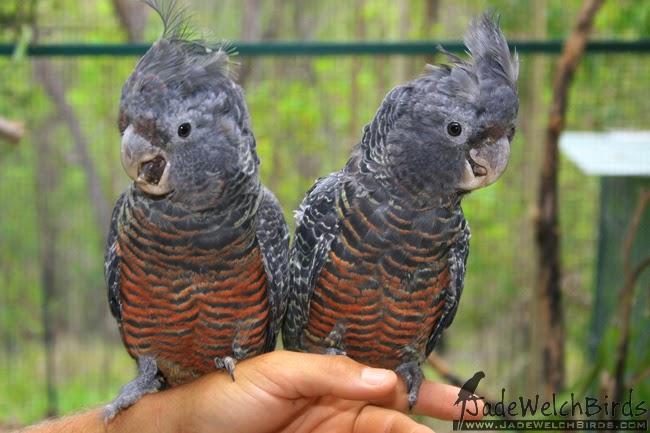 hen young gang gang cockatoo jadewelchbirds jade welch birds