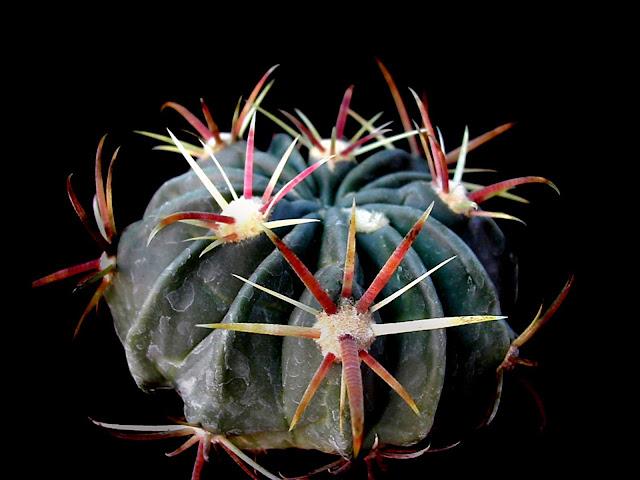 Mis cactus for Vivero feroxcactus