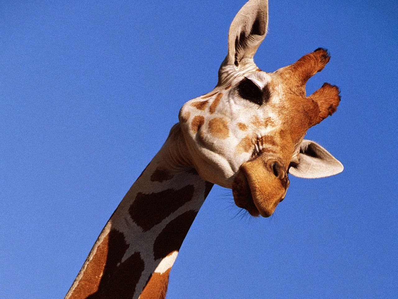 picture of a giraffe face
