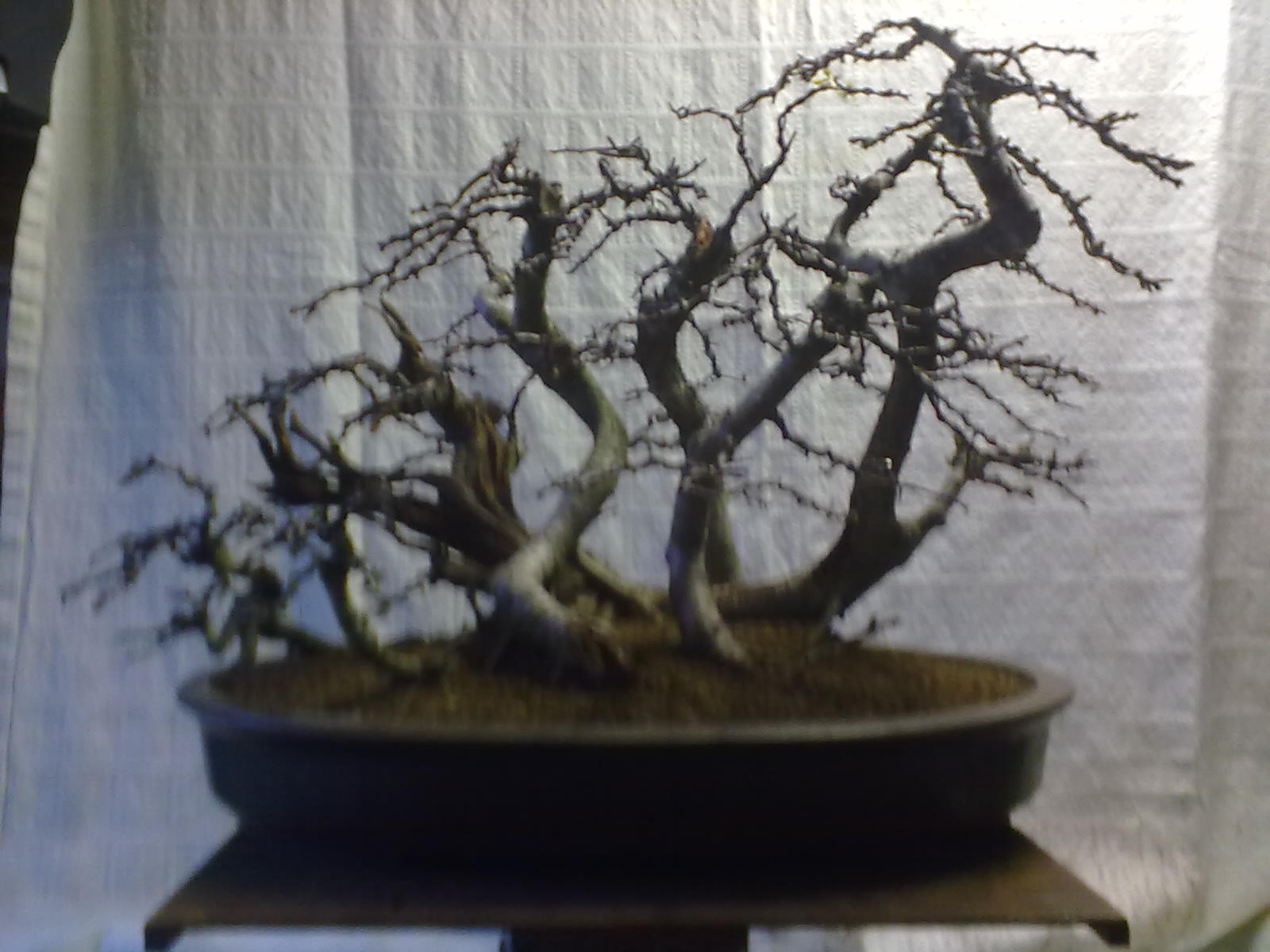 Ronin Bonsai Hawthorn Forest Project