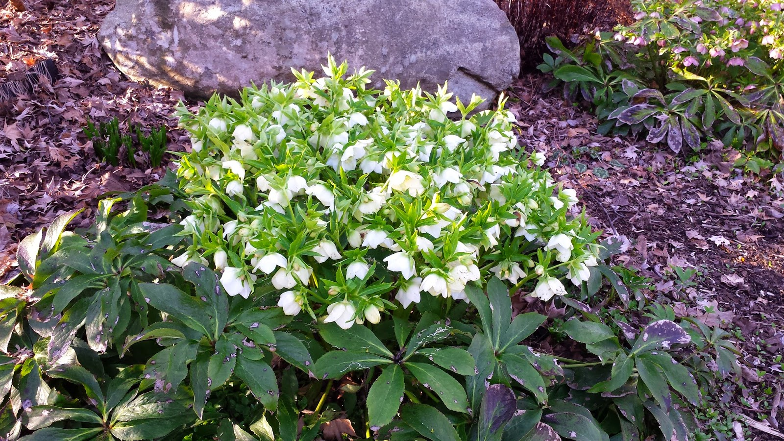 beautiful mature full blossomed hellebore