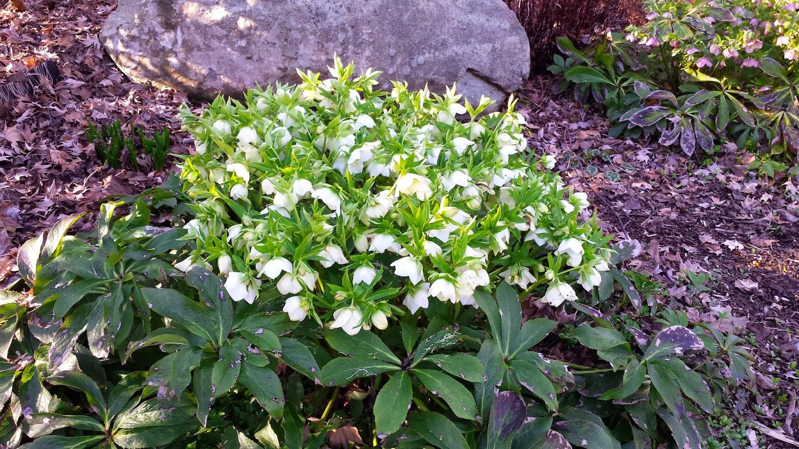 beautiful mature full blossomed hellebore