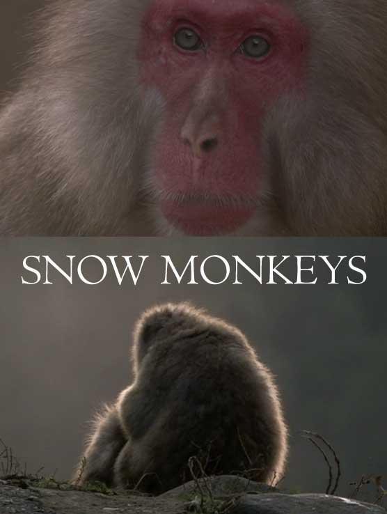 Japonya'nın Kar Maymunları