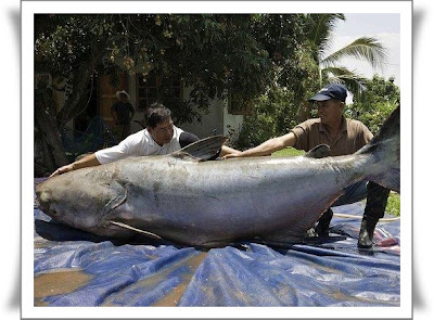 gambar ikan terbesar di dunia