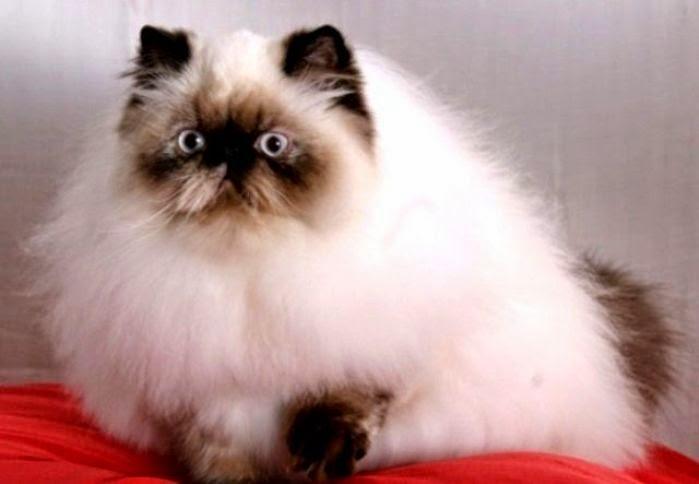 Kucing Himalaya Penitipan Kucing Murah Jogja Kucing
