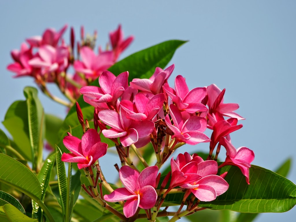 Flower photos most beautiful flowers in the world plumeria most beautiful flowers in the world plumeria izmirmasajfo