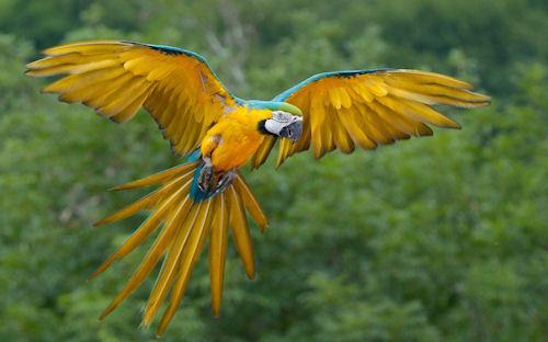 Perico de colores volando en las praderas