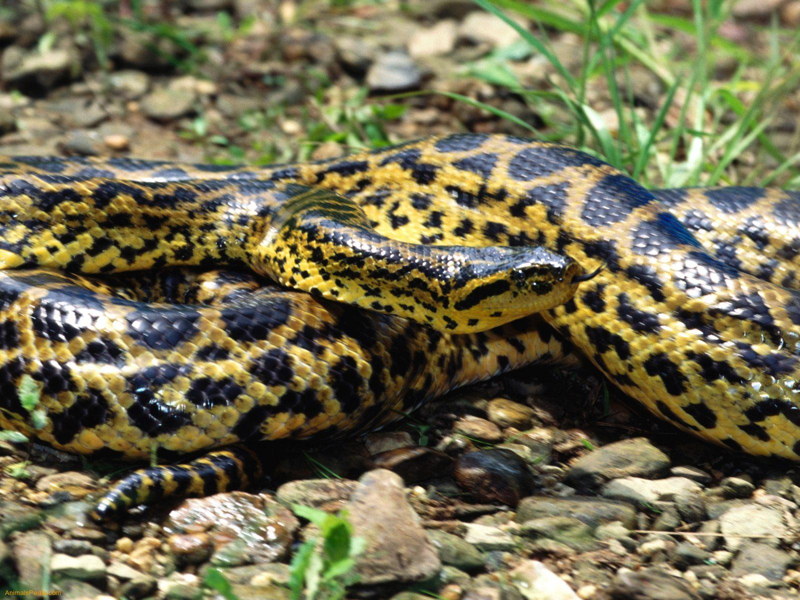 Anaconda Snakes information | Animals Blog