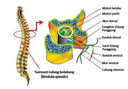 Fungsi Sumsum Tulang Belakang (Medula Spinalis)