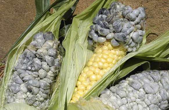 edible skinny huitlacoche welcome to the delicacy of