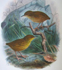 stephens island wren, extinct bird species