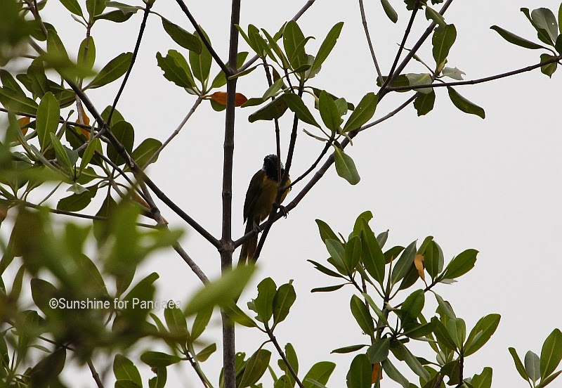 Oriole Warbler (Hypergerus atriceps) in Gambia
