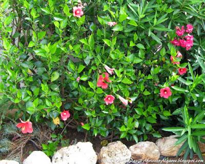 Hibiscus, oleander and santolina