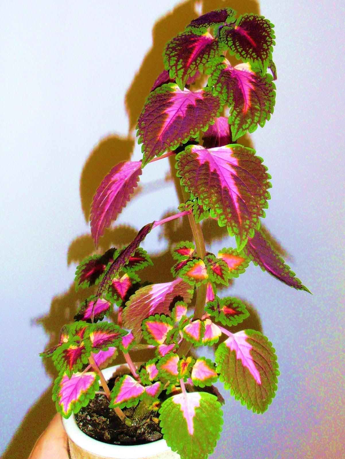 la ventana de javiruli plantas de interior 12 coleo