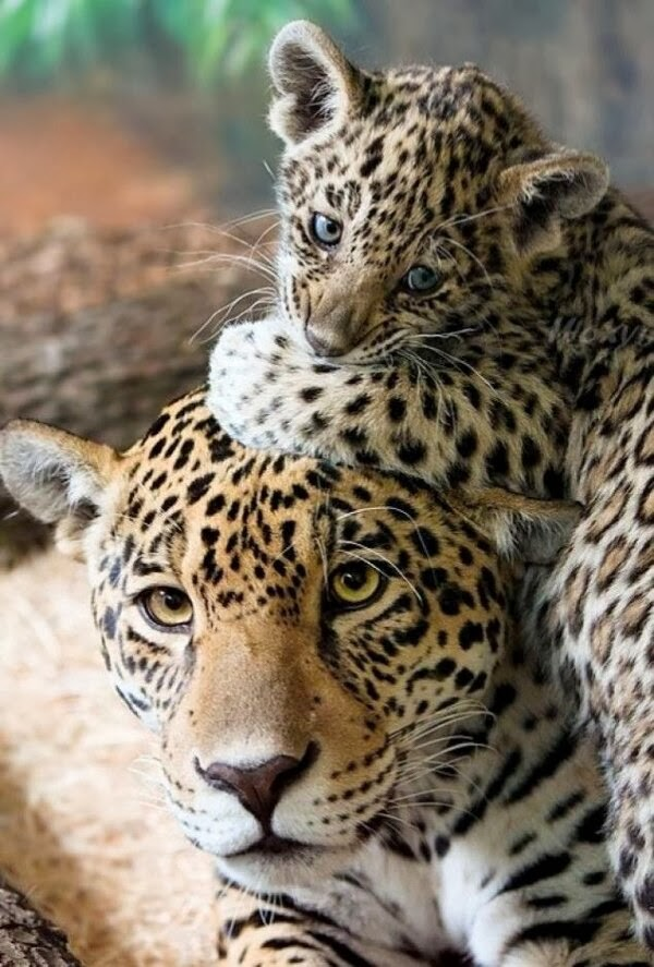 Funny animals of the week - 3 January 2014 (40 pics), baby jaguar and mommy