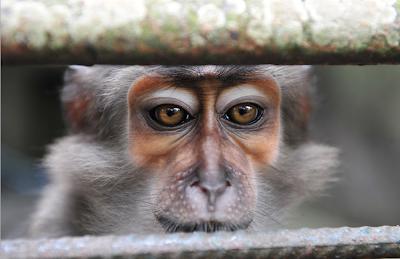 Инопланетяне среди нас обезьяна за решеткой. Грустные глаза обезьяны в зоопарке.